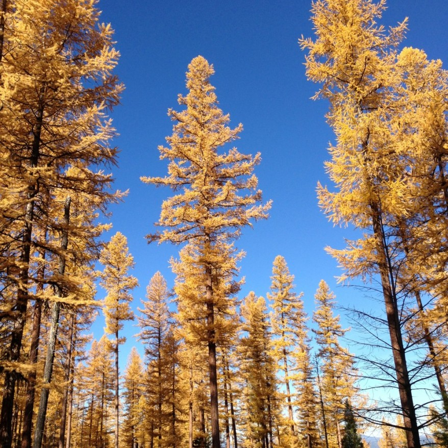 Western larch are magnificent in the fall!
