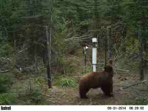 A bear investigating our monitoring gear