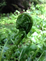 Beautiful and delicious fiddlehead.